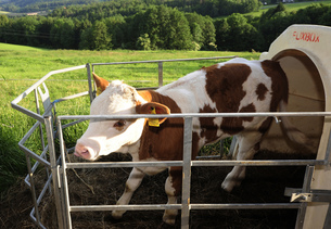 stable,groom,cowshed,young animal,calf,cattle,cow,livestock,livestock,animals,animalの写真素材 [FYI00873900]