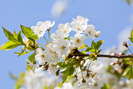 white cherry blossoms on a branch tree with blue himmeの写真素材 [FYI00874383]