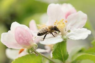 bee on apple blossomの写真素材 [FYI00874466]