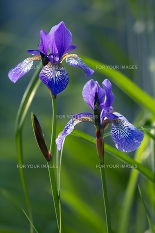 siberian iris / iris sibiricaの素材 [FYI00876187]
