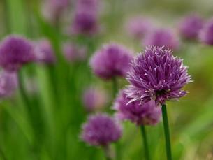 flowering chivesの素材 [FYI00876316]