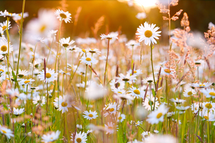 daisies field in evening glowの写真素材 [FYI00876545]