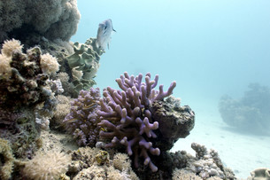 coral reef with lilac hood coral and exotic fish on the bottom of red sea in egyptの写真素材 [FYI00876877]