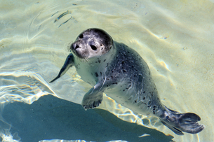 a young seal in waterの写真素材 [FYI00876979]
