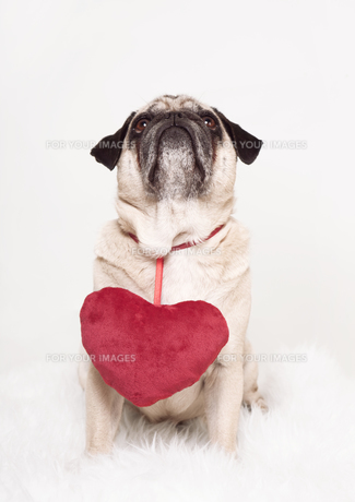 pug heart valentine's cardの写真素材 [FYI00876990]