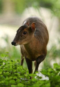 muntjac in the bushes portraitの写真素材 [FYI00877004]