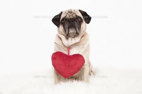 pug with heartの写真素材 [FYI00877024]