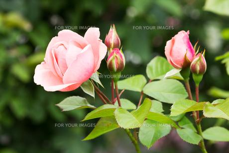 rose pinkの素材 [FYI00877092]
