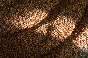 barleyの写真素材 [FYI00877104]