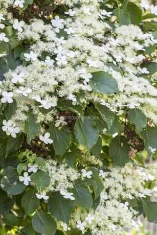 climbing hydrangea (hydrangea petiolaris)の素材 [FYI00877393]