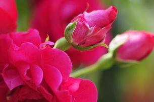 rosesの写真素材 [FYI00877992]