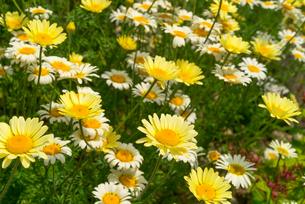 leucanthemum vulgare (leucanthemum vulgare)の写真素材 [FYI00878026]