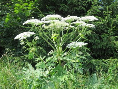 giant hogweed - heracleum mantegazzianumの写真素材 [FYI00878764]