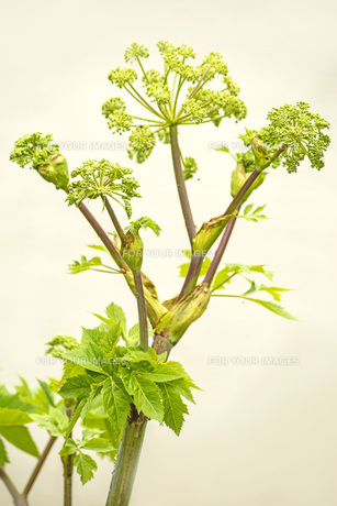 angelica old monastery medicinal plantの写真素材 [FYI00878812]