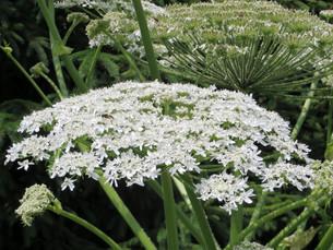 hercules herb - heracleum mantegazzianumの写真素材 [FYI00879165]