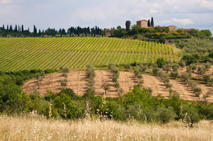 vineyards and olive groves in tuscanyの素材 [FYI00879240]