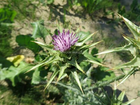 plants_flowersの素材 [FYI00879752]