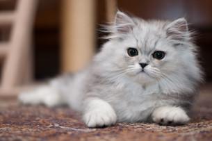 cute little persian kittenの写真素材 [FYI00879863]