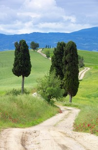 tuscany cypress with path - tuscany cypress trees with track 03の素材 [FYI00880126]