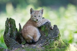 young lynxの素材 [FYI00880218]