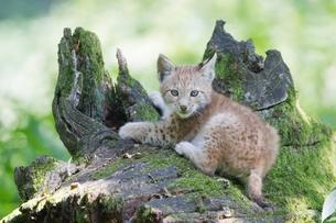 young lynxの素材 [FYI00880246]