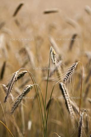 rye - ears of corn in a close-upsの素材 [FYI00880262]
