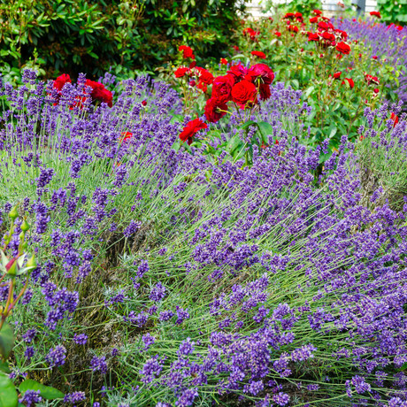 lavender and rosesの写真素材 [FYI00880452]