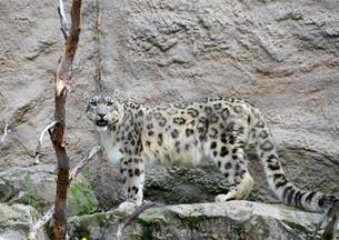 snow leopardの素材 [FYI00880470]