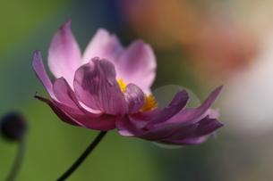 japanese anemoneの写真素材 [FYI00880793]