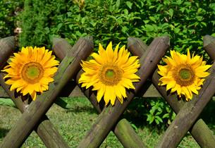 sunflowers picket fence gardenの写真素材 [FYI00880801]
