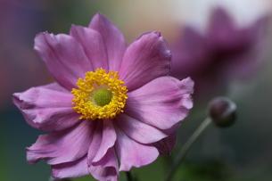 japanese anemoneの写真素材 [FYI00880809]