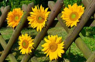 sunflowers picket fence gardenの写真素材 [FYI00880814]