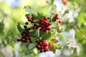 berryの写真素材 [FYI00880999]