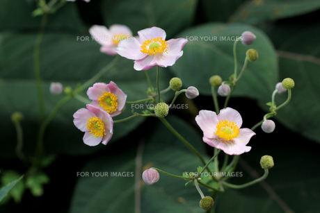 anemoneの写真素材 [FYI00881485]