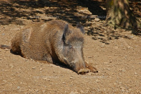 boar sunbathingの写真素材 [FYI00881579]