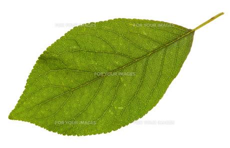 leafの素材 [FYI00881669]