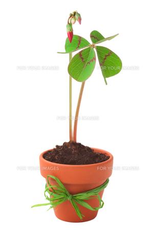 four-leaf cloverの写真素材 [FYI00882656]