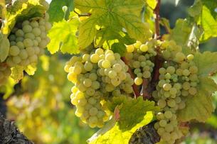 spain - vinesの写真素材 [FYI00882914]