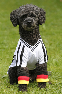 poodle in football jersey (germany)の写真素材 [FYI00883179]