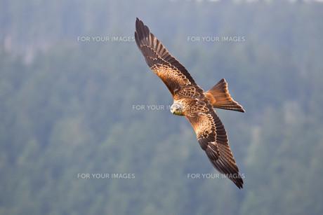 red kiteの素材 [FYI00883243]