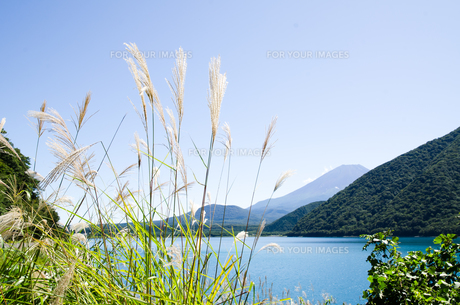 富士山とススキ 朝霧高原の写真素材 [FYI00883537]