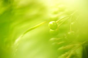 グリーンの実の写真素材 [FYI00883609]