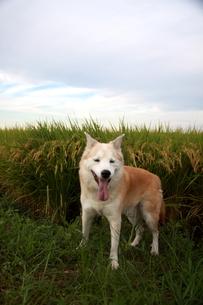 笑顔の犬と秋空と稲穂の写真素材 [FYI00883933]