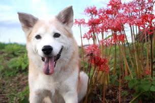 笑顔の犬と秋空と彼岸花の写真素材 [FYI00883934]