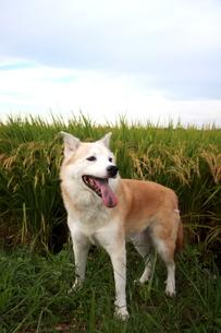 笑顔の犬と秋空と稲穂の写真素材 [FYI00883937]