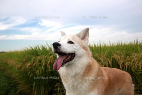 笑顔の犬と秋空と稲穂の写真素材 [FYI00883938]