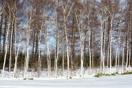 冬のシラカバ林の写真素材 [FYI00884088]