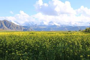 菜の花と山の写真素材 [FYI00884359]