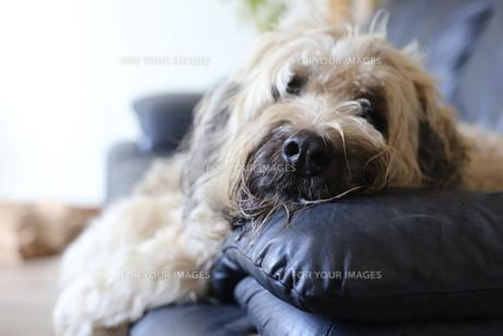 愛犬の写真素材 [FYI00884361]