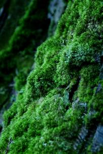 苔むした樹の写真素材 [FYI00884365]